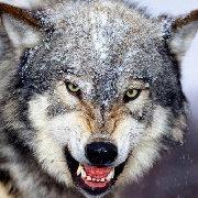 Wolf-R