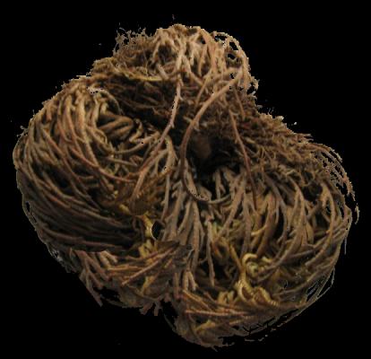 tumbleweed_Selaginella_lepidophylla_trocken.png