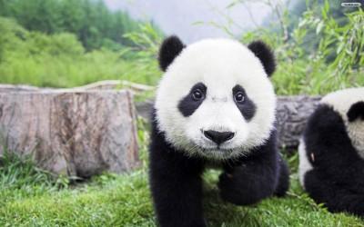 Baby-Panda-Wallpaper.jpg